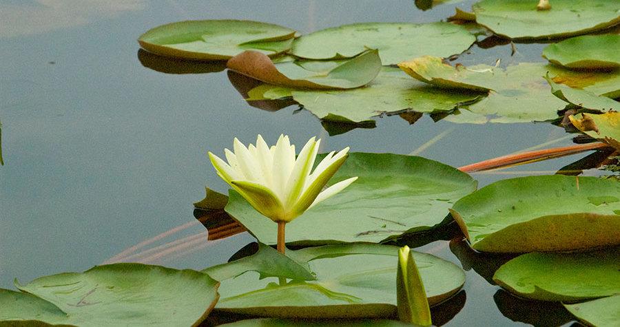 fiore-loto